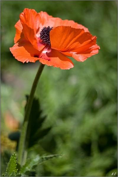 Poppying