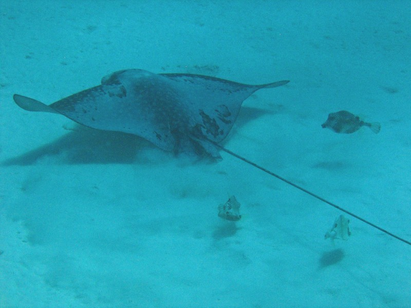 Spotted Eagle Ray Bonaire