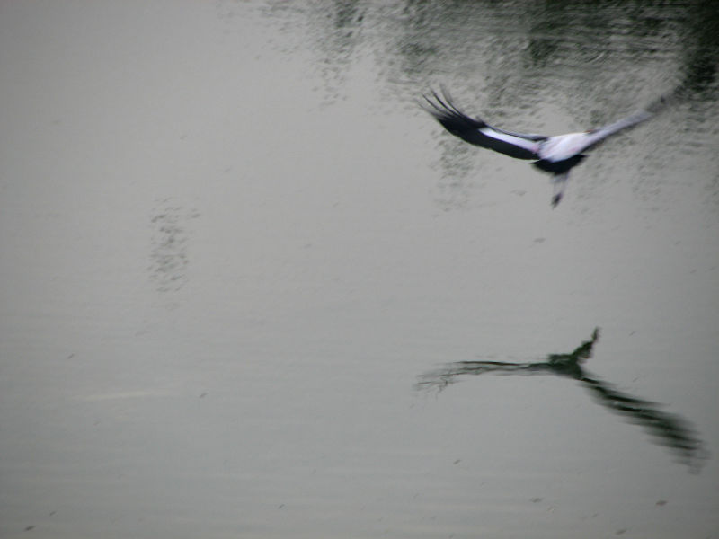 A bird swoops down into the marsh at vedanthangal