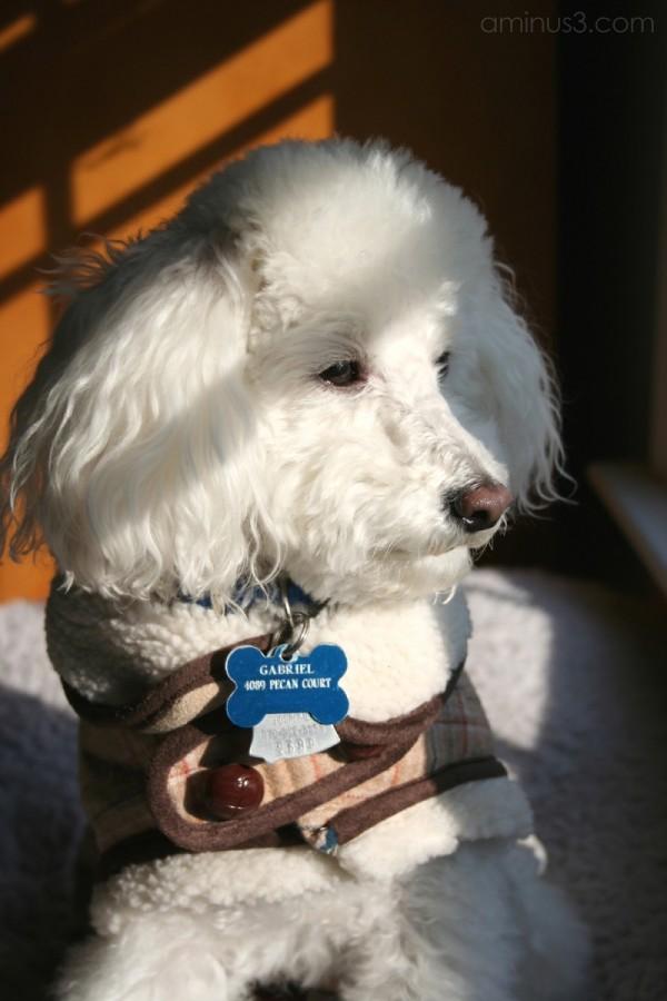 Gabriel, toy poodle