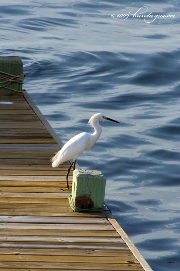 egret at the edge of the dock