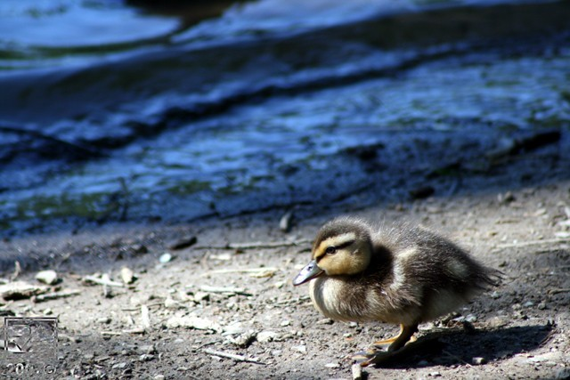 A Baby Duck