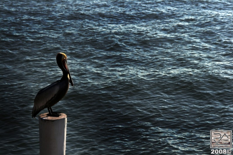 Pelican on a Pedestal