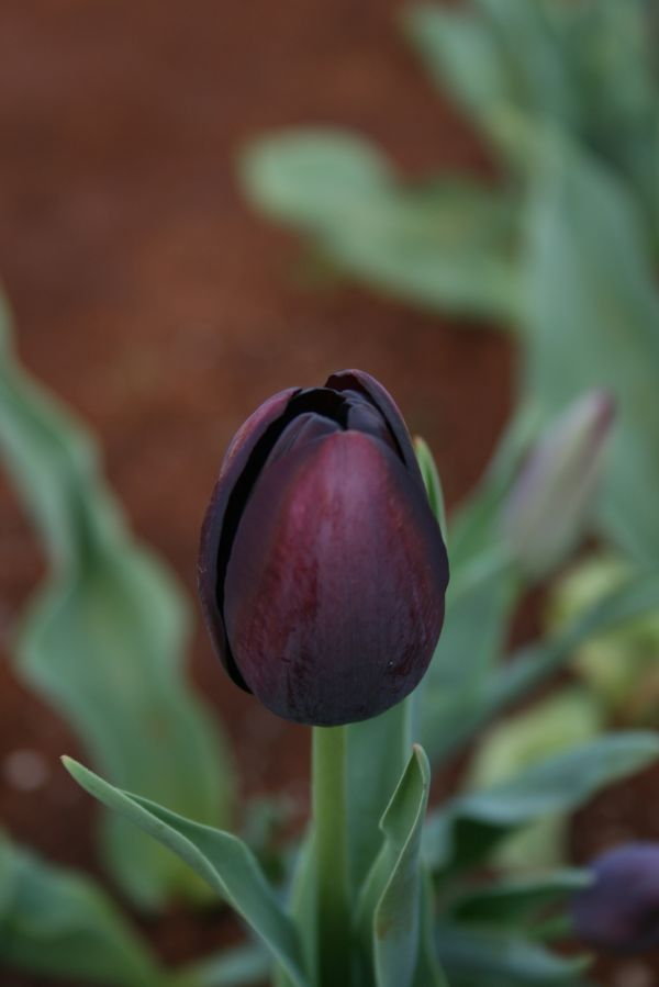Black tulip, September 2009