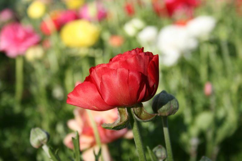 Tulips, September 2009