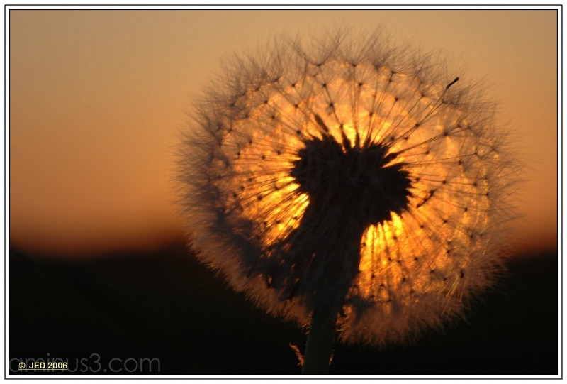 Dandelin Sundown JED