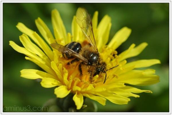 Honey Bee JED