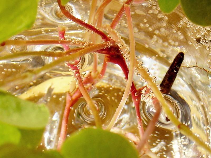 gathered bubles on plants stem