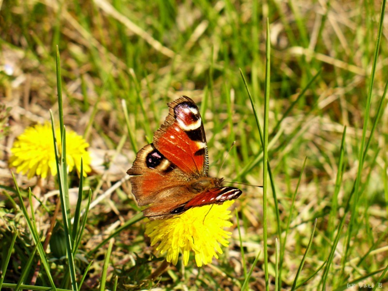 a butterfly resting on a dandelion