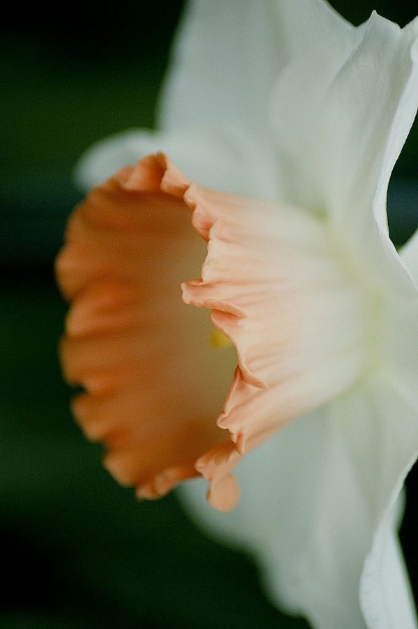 daffodil flower macro