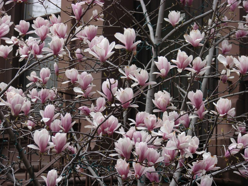 flowering tree in spring