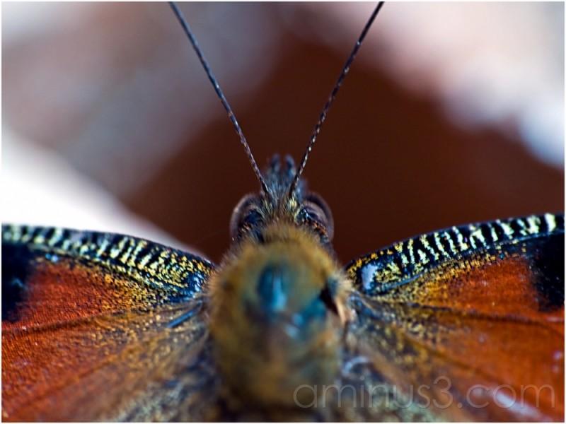 butterfly minimal