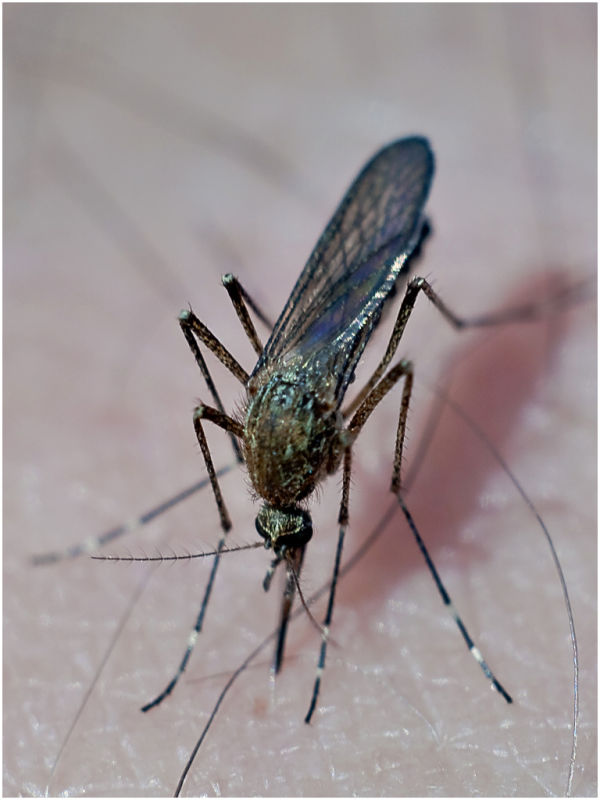my mosquito
