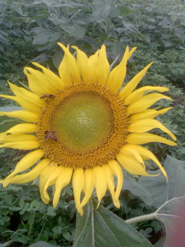 sunflower n honey bees