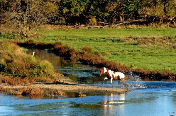 Wasserscheues Pferd macht die Welle