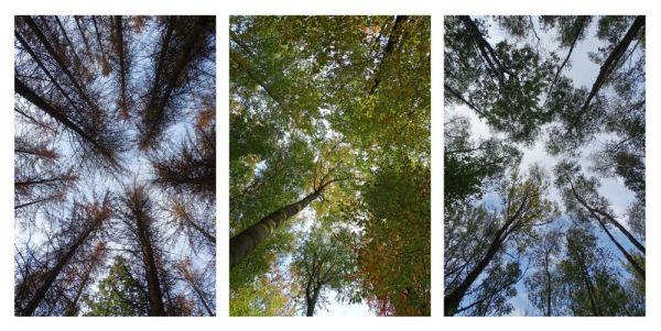 Baumwipfel Triptychon