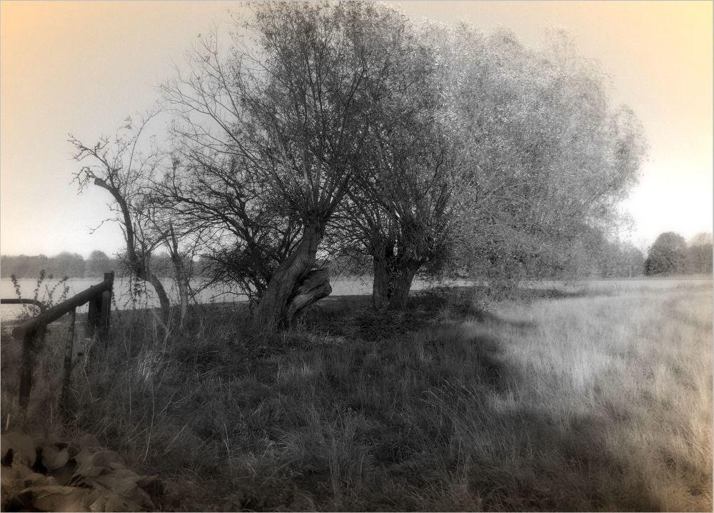 Weidenbäume