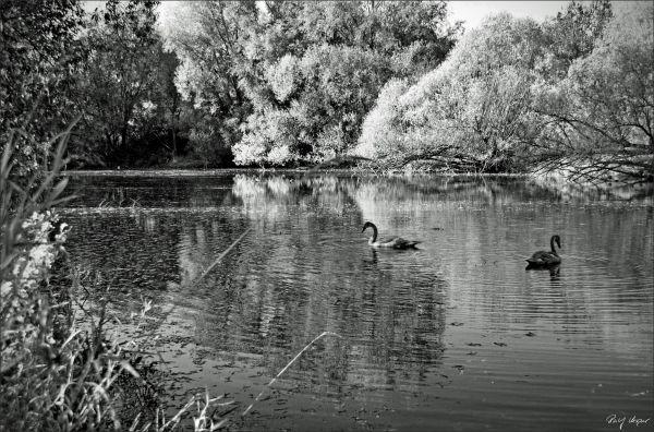 Swans in Parklake