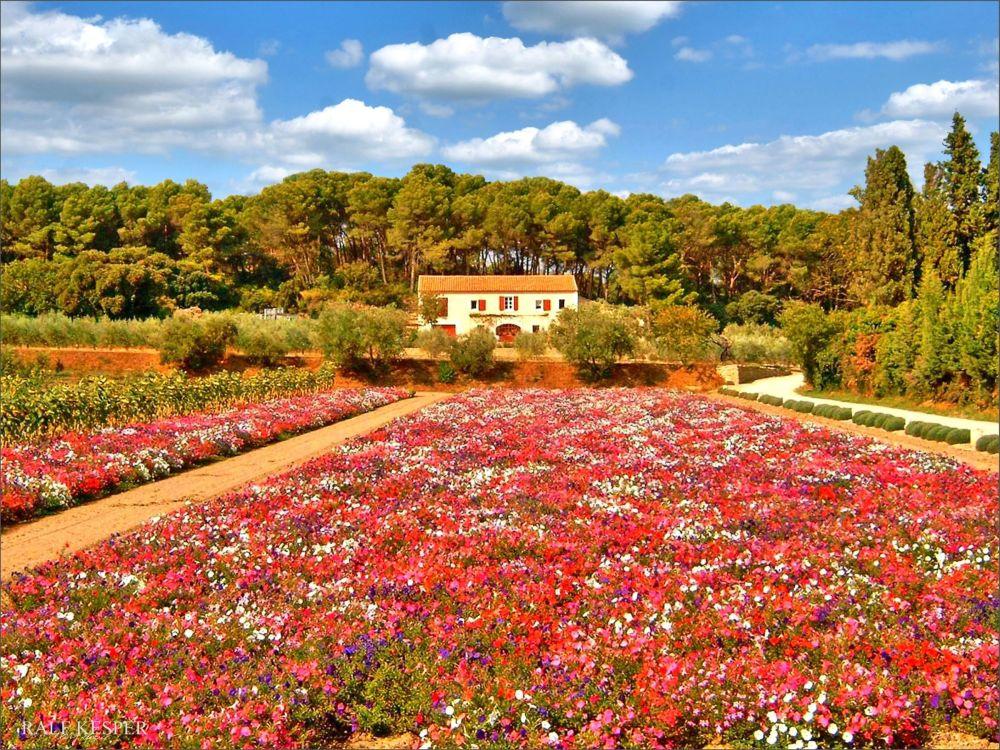 Fleurs Provençales