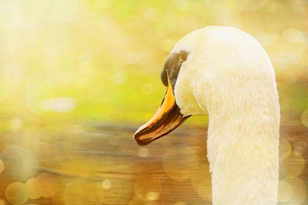 Swan  Shine