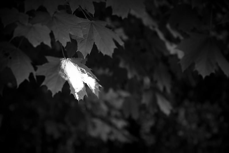 leaf white tree nature