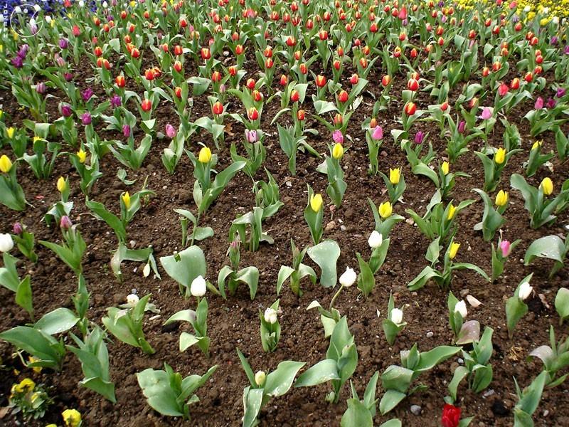 Flowers - Mellat Park