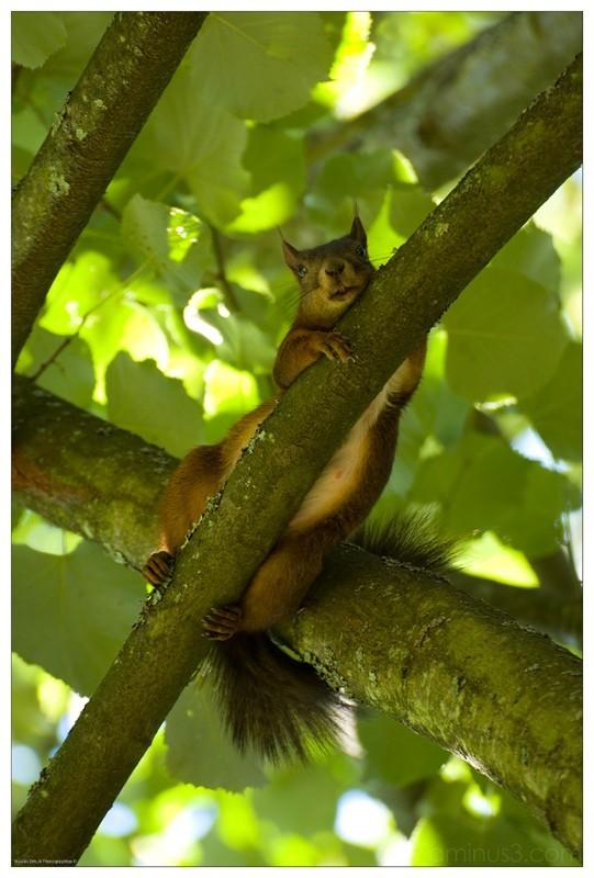 ecureuil dans un arbre, nicolas ernult