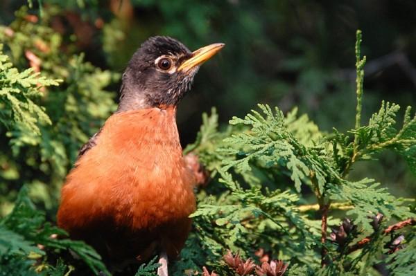 American robin mum
