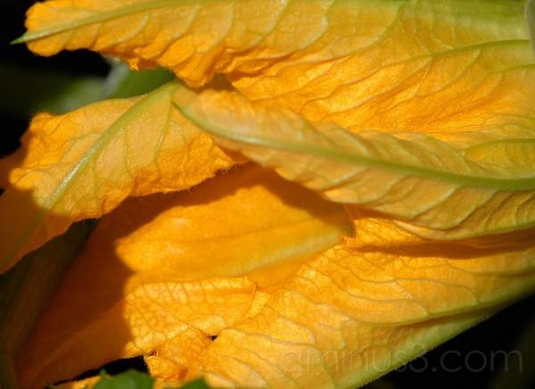 Marrow flower