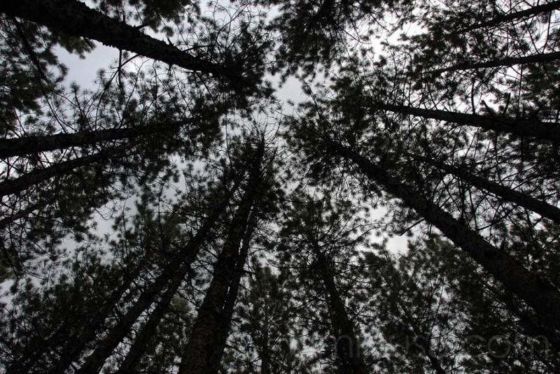 Under pine trees