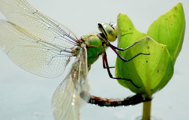 libellule qui se prépare à pondre