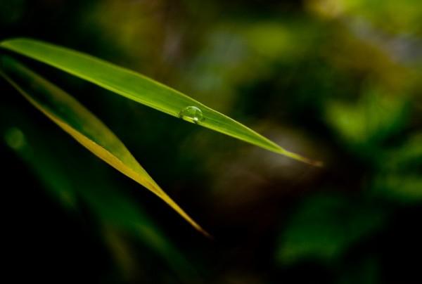 Bambou après la pluie