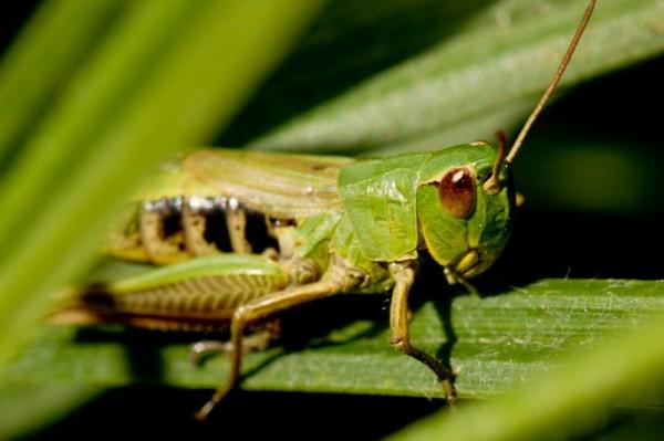 the lover's locust