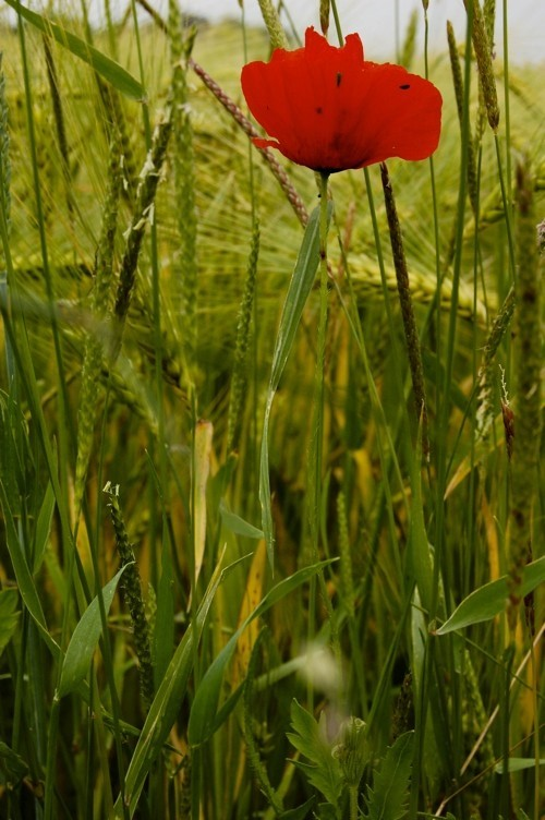 red and green for poppy and grass