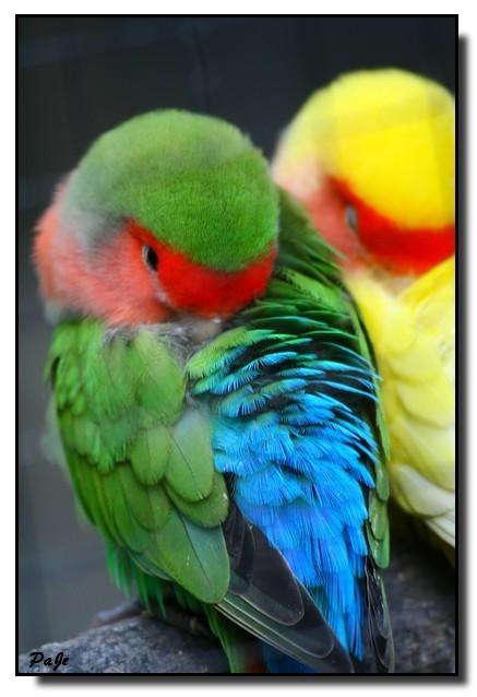 Perroquet nomé les inseparables