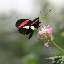 Papillon qui butine
