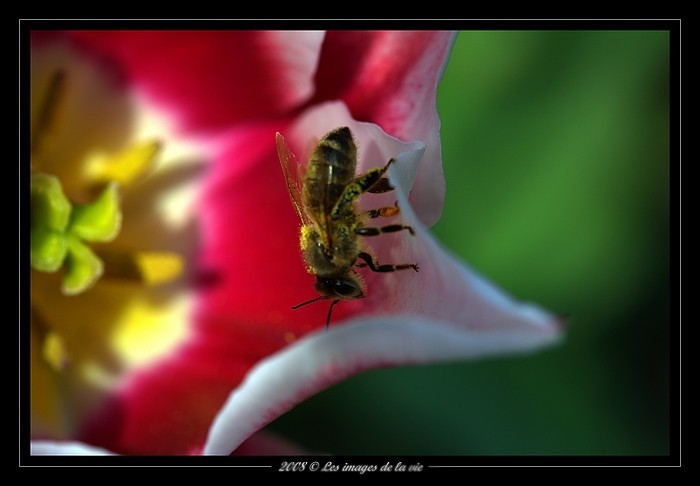 A bee on a tulip