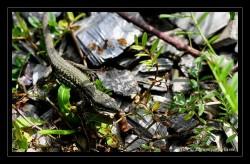 Lézard - lizard