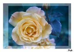 Rose - rose bush