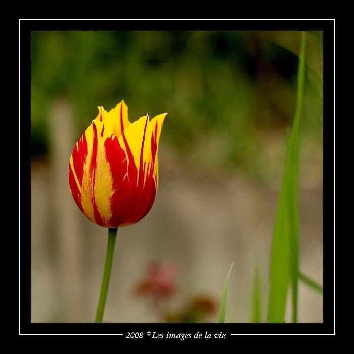 Tulipe - tulip