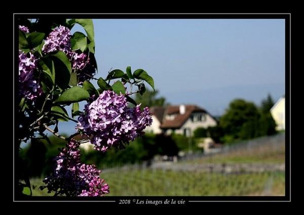 Lilas - lilac