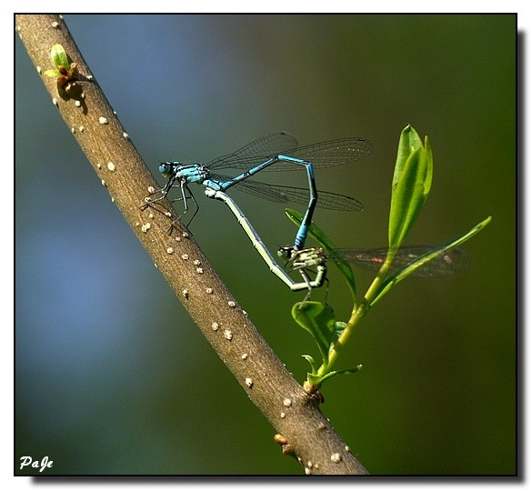 "libellule ""demoiselle""dragonfly ""Miss""insecte"