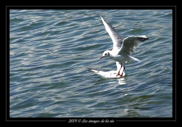 seagull - mouette