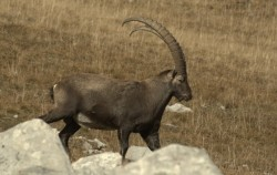 Here is an ibex photographed the vanil black. (Swi