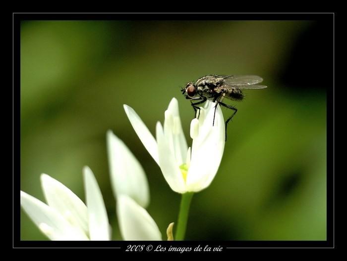 Macro Fleurs et mouche