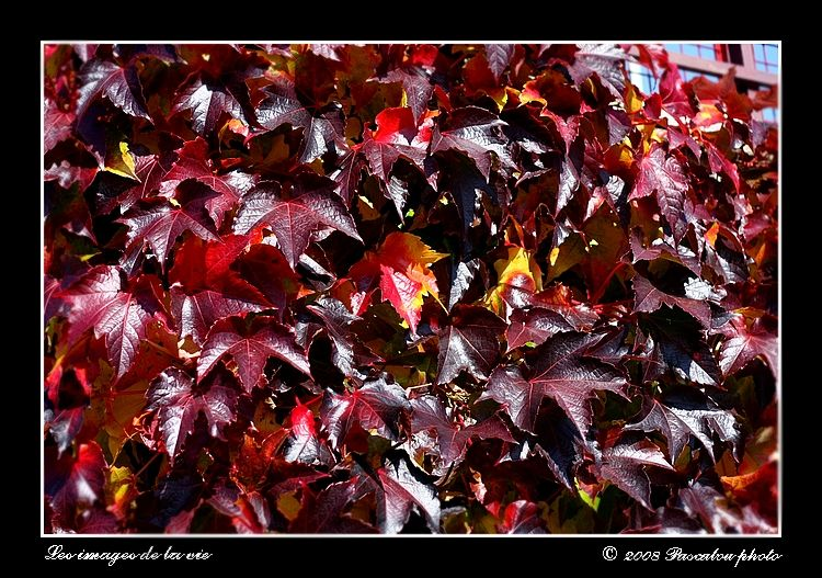 Virginia creeper colors of autumn.