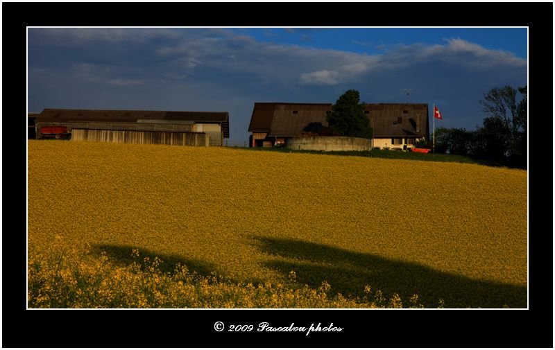 fields of rapeseed,