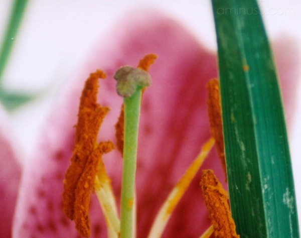 tiger lily stamens shot close up