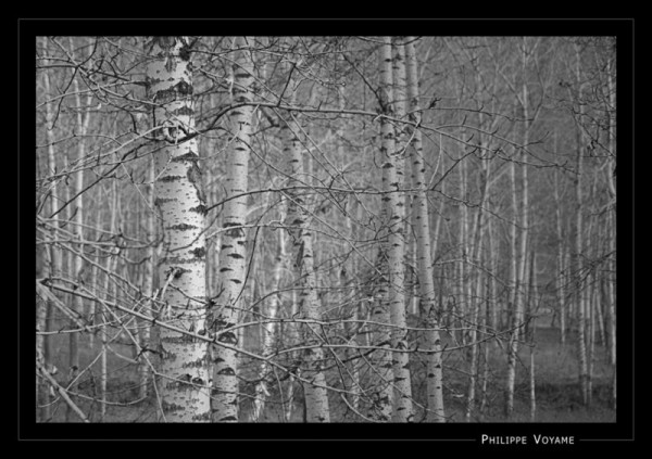 birch forest in central china