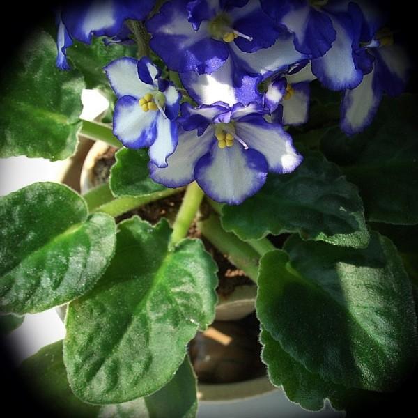 wheel-thrown flower pot african violet